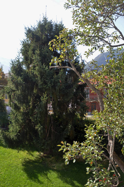 giardino-vecchio-abete-bb